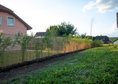 Živý plot z bambusu Fargesia Viking ihned po vysazení. Sázeno 1 metr od sebe.