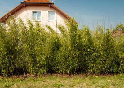Rychle rostoucí živý plot z bambusu. Výsledek po 2 letech. Sázeno 1 metr od sebe.