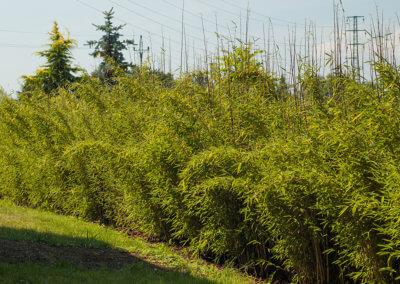 Rychle rostoucí živý plot z bambusu Fargesia Viking po 2 letech. Sázeno 1 metr od sebe.