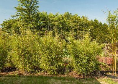 Na větrnějším místě bambus není tak hustý jako v závětří.
