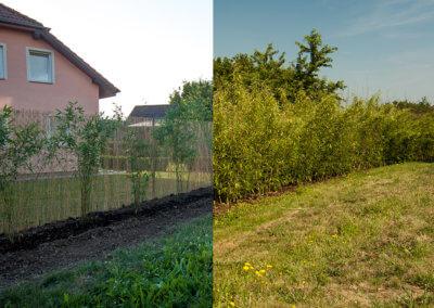 Ihned po výsadbě živého plotu a 2 roky poté.