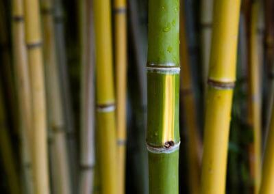 Bambus Francie I.