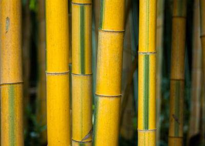 Bambus Francie III.