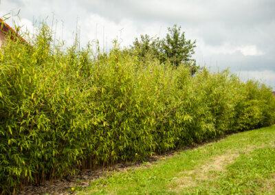 Živý plot za bambusu po 3 letech. Rychle roste a je zelený i v zimě.