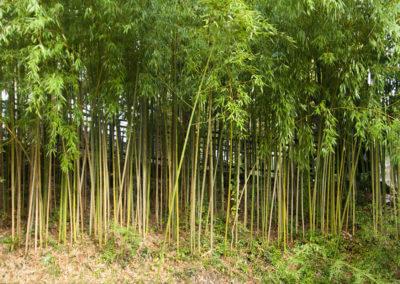 Bambusová stěna