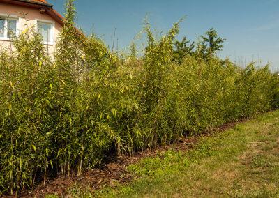 Živý plot z bambusu Fargesia Viking