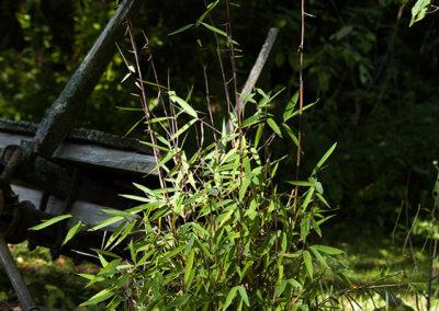 Menší sazenice Fargesia Black Pearl - jednou vytvoří živý plot