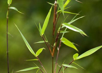 Větvička bambusu Fargesia Rufa