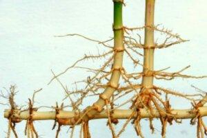 Zlý bambus, leptomorfní či invazivní kořenový systém, running bamboo (zdroj: www.bamboobotanicals.ca)