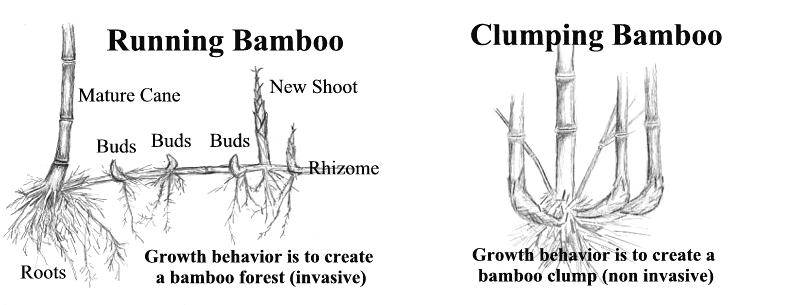 Ukázka invazivního a neinvazivního kořenového systému bambusů (https://bamboopropagation.info/)
