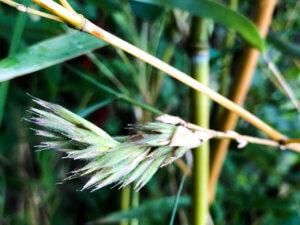 Květ bambusu Phyllostachys aureosulcata Spectabilis