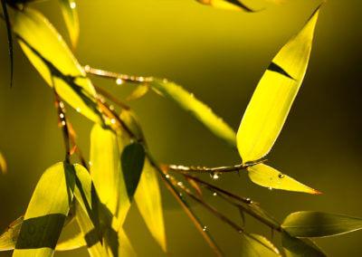 Listy Phyllostachys Aureosulcata Aureocaulis
