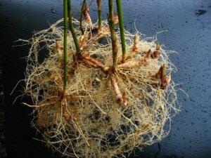 Hodný bambus, s pachymorfním neinvazivním kořenovým systémem, clumping bamboo (zdroj: http://www.bamboo.org/)