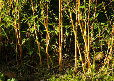 Rok po vysazení živého plotu z Phyllostachys Aureosulcata Aureocaulis