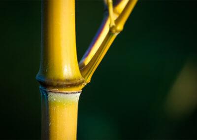 Mladá stébla a větvičky Phyllostachys Aureosulcata Aureocaulis mohou mít zelený proužek