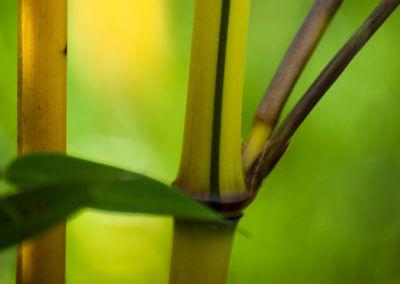 Zelený proužek na novém stéblu Phyllostachys Aureosulcata Aureocaulis