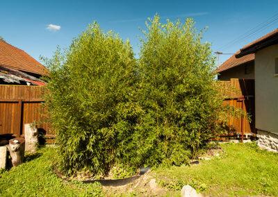 Živý plot ze Žluťáka (Phyllostachys Auresulcata Aureocaulis) 4 roky od vysazení