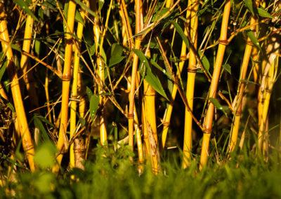 Živý plot z bambusu Phyllostachys Aureosulcata Aureocaulis 1 rok od vysazení